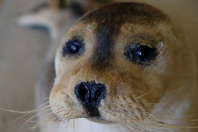 Seehund Schnauze Robbe 183 Kostenloses Foto Auf Pixabay