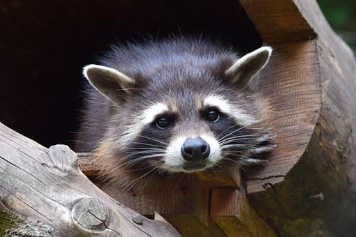 Raccoon, Zoo, Wildlife Park, Cheeky