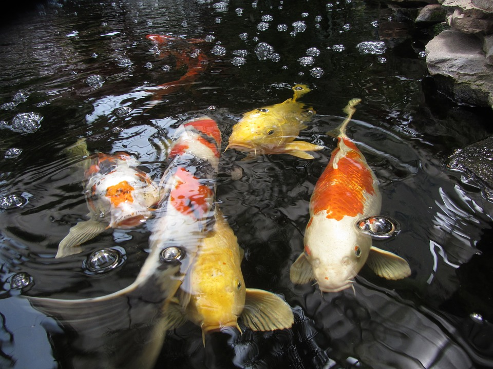 Free photo orange yellow gold koi fish free image for Blue and orange koi fish