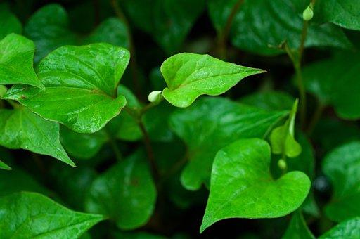 葉, ハート型, ドクダミ, 緑, 初夏, 濡れた, 植物, 水滴, 梅雨
