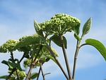 viburnum lantana, wayfarer, wayfaring tree