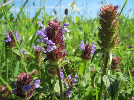 20+ Free Self-Healing & Prunella Vulgaris Photos - Pixabay