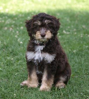 Puppy, Aussiedoodle, Young Dog, Dog