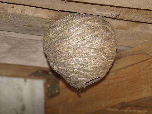 kostenloses foto wespennest wespe insekt stechen kostenloses bild auf pixabay 856671. Black Bedroom Furniture Sets. Home Design Ideas