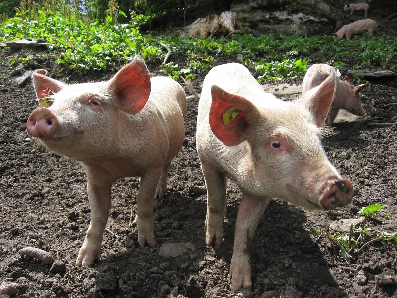 домашние свиньи фото результате
