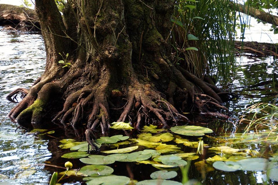 Racine arbre lagon photo gratuite sur pixabay - Arbre a faible racine ...