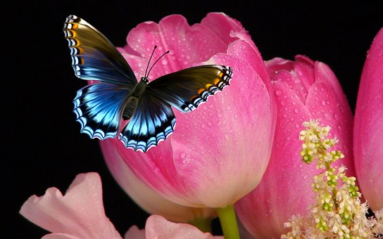 Tulip, Flower, Butterfly, Nature