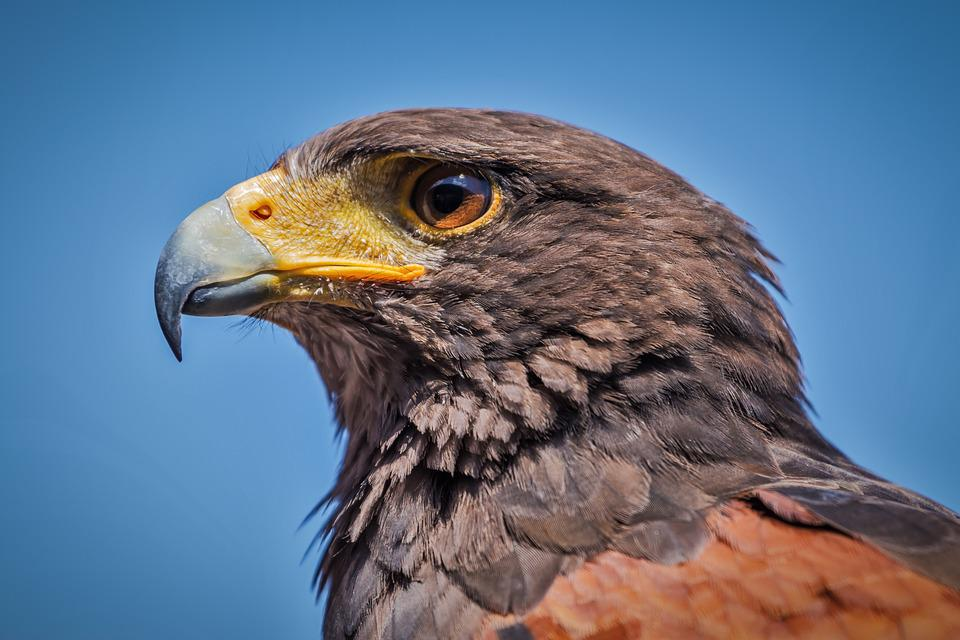 hawk images pixabay download free pictures