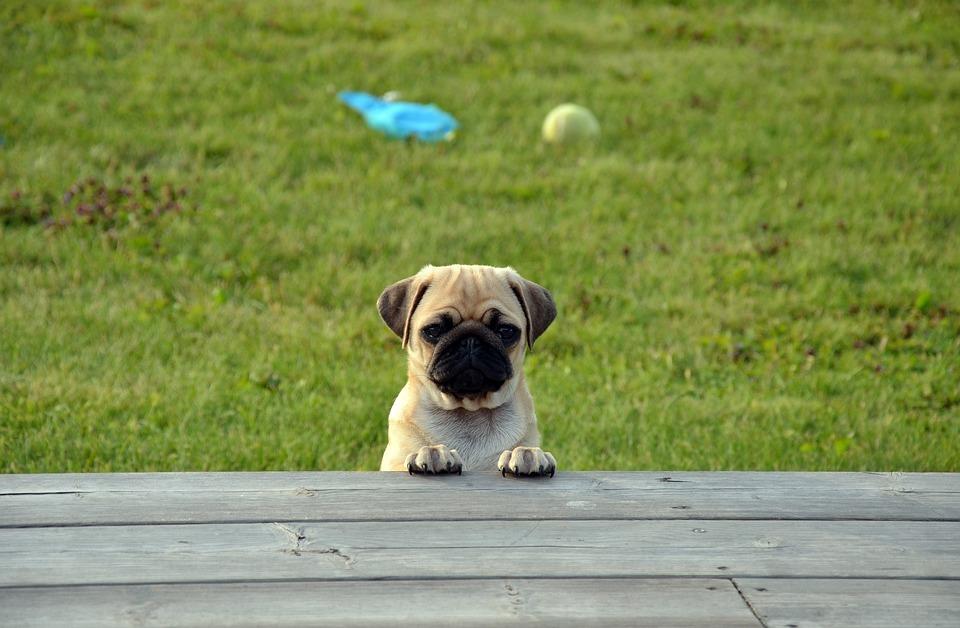 Dog, Pug, Puppy