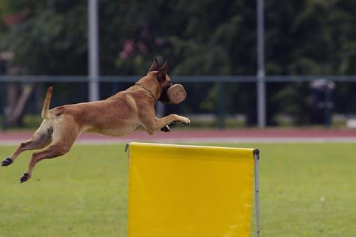 Dog, Malinois, Belgian Shepherd