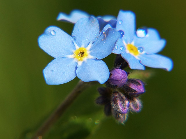 free photo  forget me not  macro  close  flower - free image on pixabay
