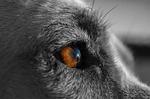 canine, dog, pet