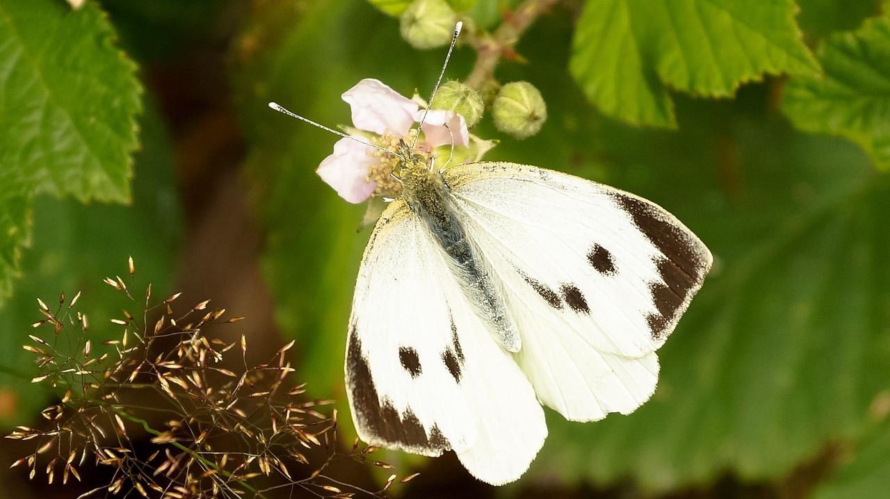 Картинка с бабочкой капустницей