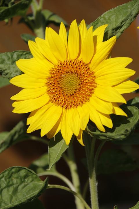 Bunga Matahari Besar Mekar Foto Gratis Di Pixabay