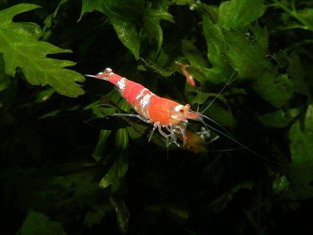 Shrimp Aquarium Creature Probe Underwater