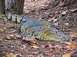 crocodile, caiman, wild