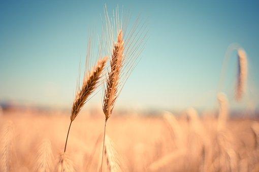 Российские ученые создали диетический сорт пшеницы