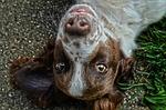 pies, oczy, oczy pies