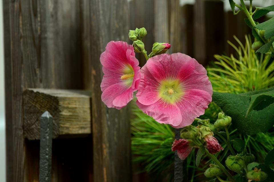 Stock rose mallow pink free photo on pixabay stock rose mallow pink flowers garden flower mightylinksfo