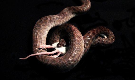 Snake, Snake Eating, Mouse, Reptile