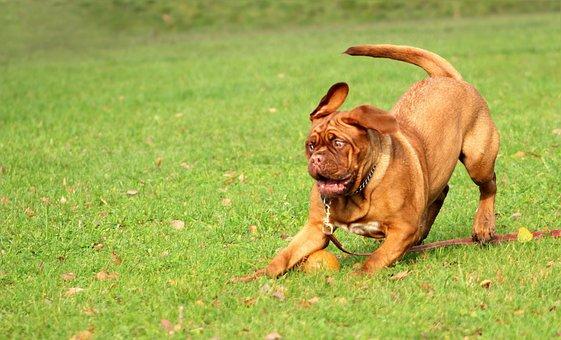 Bordeaux, Mastiff, Dog, Animal, White