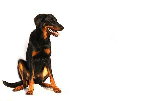 Beauceron, Dog, White, Animal, Breed