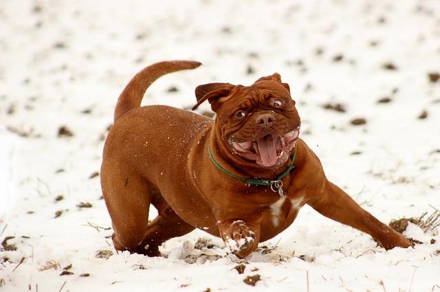 free photo bordeaux mastiff dog animal free image on