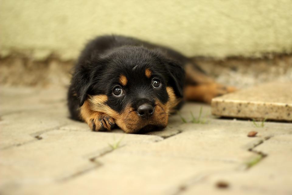 Flot Rottweiler Hvalp Hund - Gratis foto på Pixabay PA-54