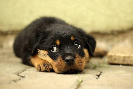 Rottweiler, Puppy, Dog, Background