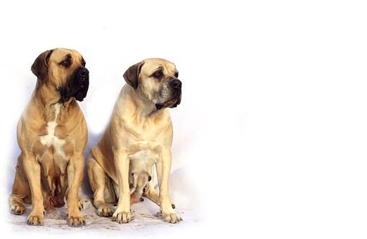Bordeaux Mastiff Dog Animal White De Masti
