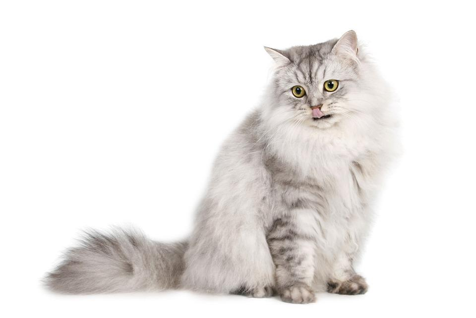 Pet Cats White Transparent