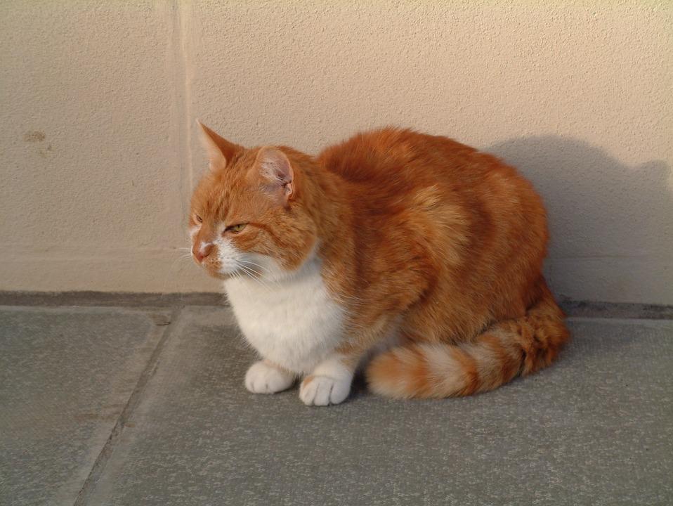 Download 101+  Gambar Kucing Oranye Lucu Terbaru
