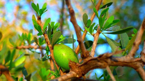 Argan Fruit Oil Cosmetic Morocco Tree Arga