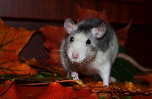Rat, Animals, Pets, Husky Roan