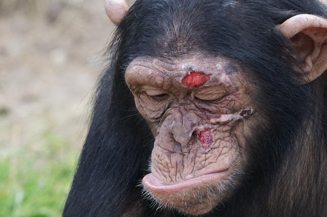 Chimpanzee Mammal Injury 183 Free Photo On Pixabay