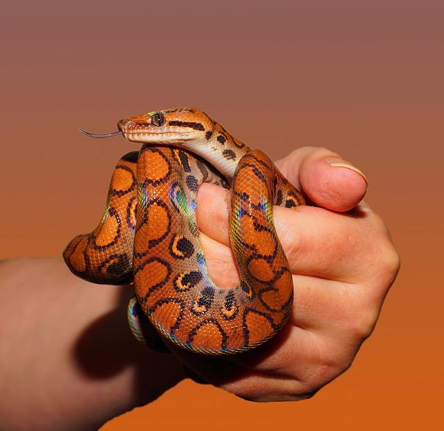 Free Photo Snake Rainbow Boa Reptile Scale Free