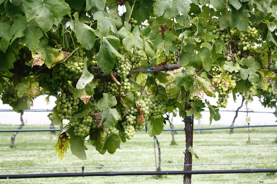 Außergewöhnlich Weinberg Trauben Pflanze - Kostenloses Foto auf Pixabay @FW_58