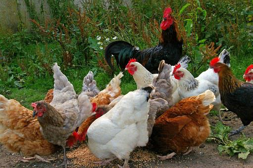 Chickens, Chicken Run, Farm, Feeding