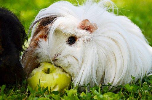 White, Guinea Pig, Perwuwianka