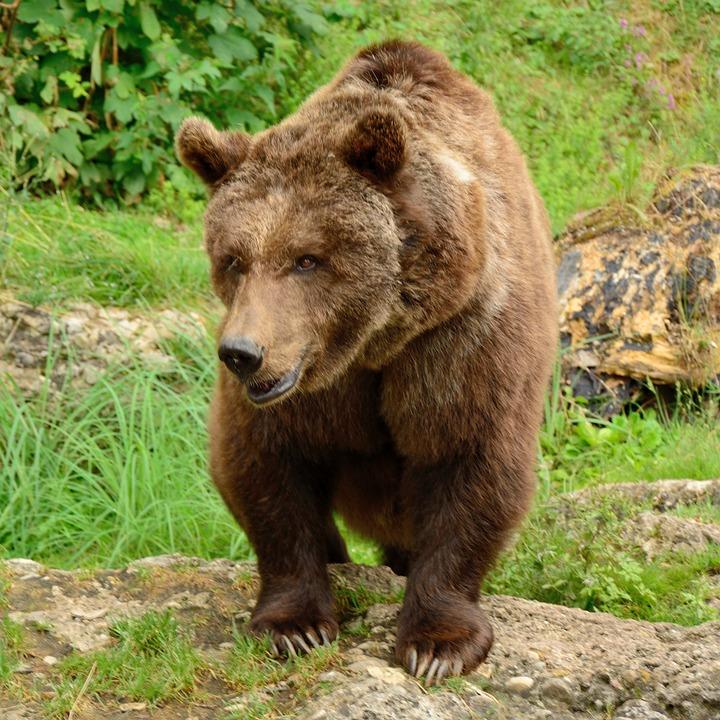 photo gratuite bear l 39 ours brun animaux sauvages image gratuite sur pixabay 874687. Black Bedroom Furniture Sets. Home Design Ideas
