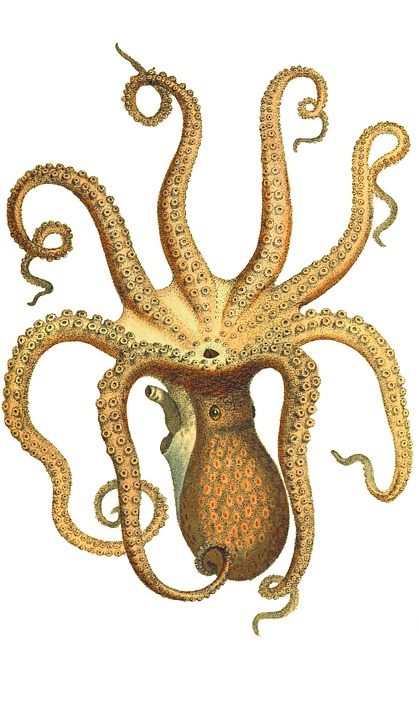 octopus vintage squid 183 free image on pixabay