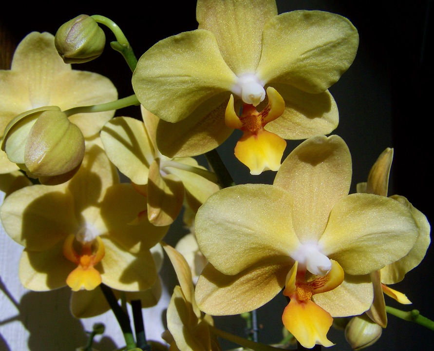 Orchid pale yellow flower room free photo on pixabay orchid pale yellow flower room plant mightylinksfo Choice Image