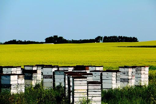 Canola, Field, Yellow, Bees, Hives