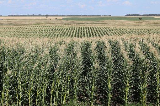 Field, Corn, Farm, Agriculture, Harvest