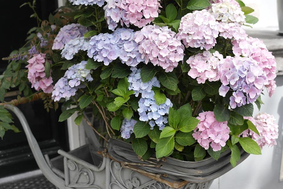 photo gratuite: hortensia, beau, papier peint fleur - image