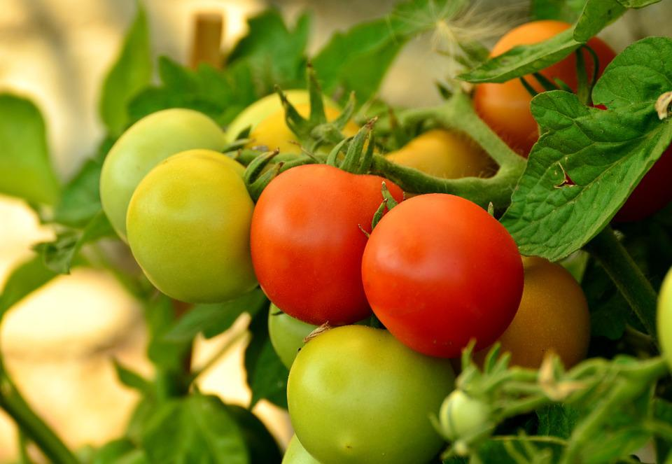 Tomatoes, Ripe, Immature, Red, Nachtschattengewächs