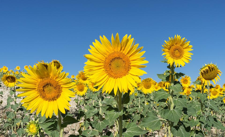 Free Photo Sunflower Flower Field Flowers Free Image
