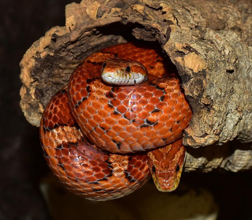Schlange Natter Kornnatter · Kostenloses Foto auf Pixabay