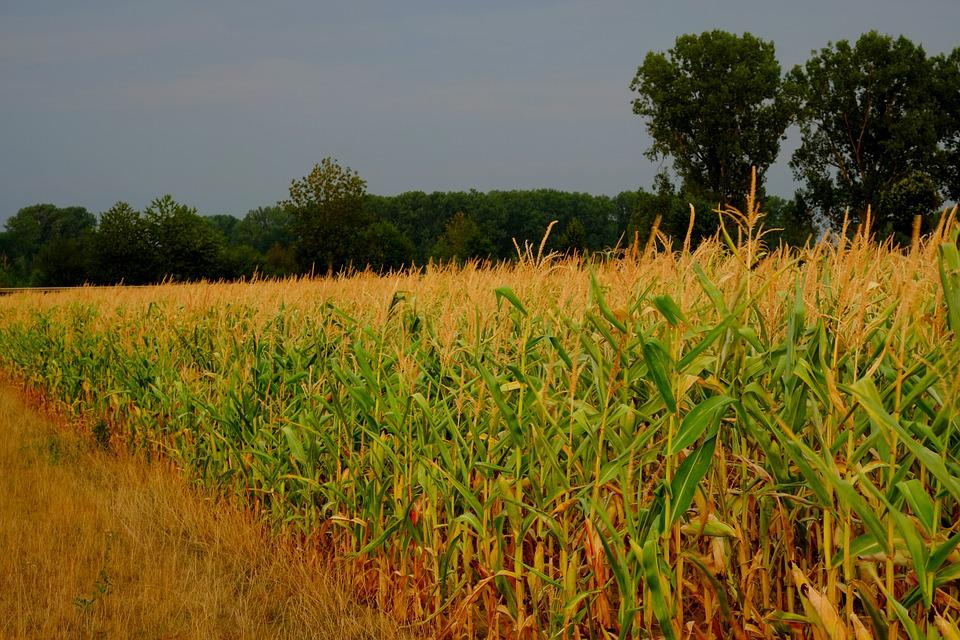 Ladang Jagung Pertanian - Foto gratis di Pixabay