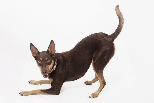 Kelpie, Australian Kelpie, Aussie, Dog